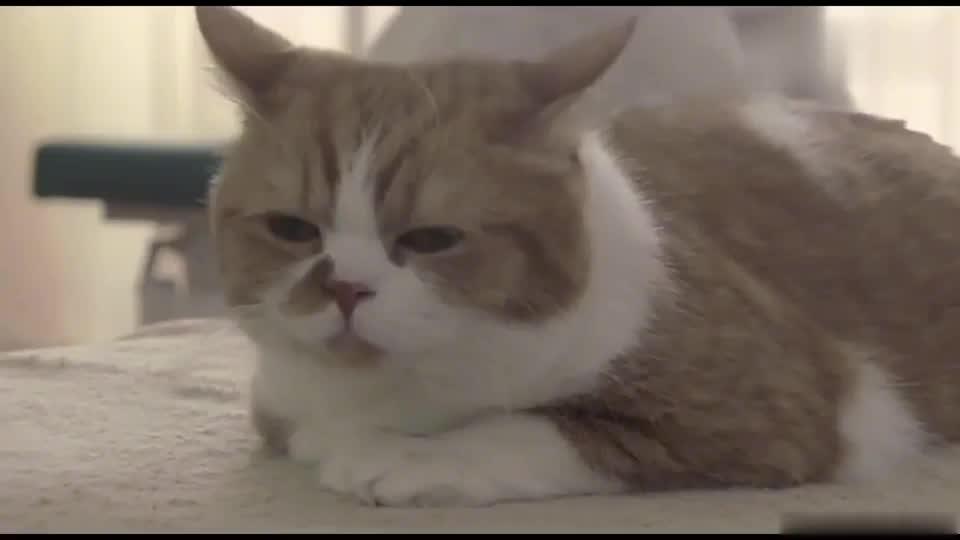 按摩师上线了小肥猫一副很享受的样子真的太可爱了吧