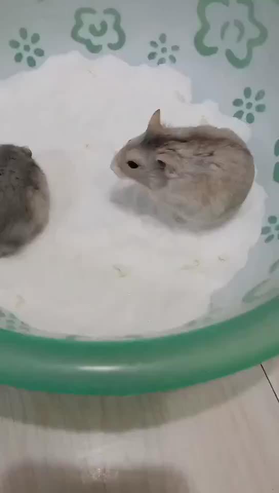 会碰瓷儿的小仓鼠一边倒还一边说碰瓷儿了碰瓷儿啦