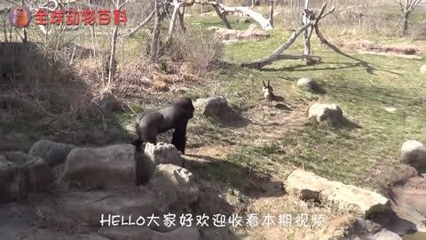 两只大猩猩互殴,差点把头发薅秃了,看到最后请憋出别笑!