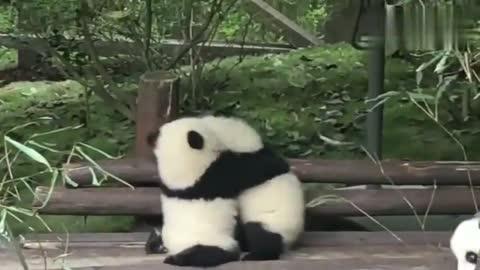 """两只熊猫宝宝抱团打架,旁边吃竹同伴却成亮点,典型""""吃瓜群众"""""""