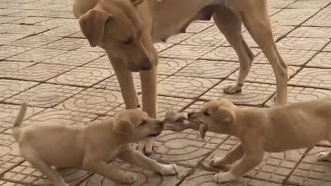 两只狗宝宝争抢东西,互不相让,一旁的狗妈妈一脸的无奈!