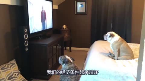 两只斗牛犬趁主人上厕所去了,直接爬床上看恐怖片,令人哭笑不得
