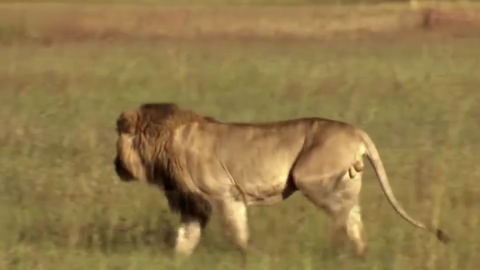 老虎或狮子在单独捕食野牛的时候胜算都非常低吗