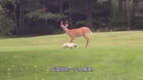 野鹿闯入农场呆萌法斗瞬间化身成恶犬下一秒请憋住别笑
