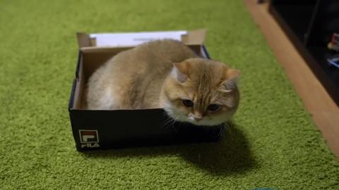 铲屎的喵最近好像又胖了现在盒子都快放不下