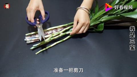 富贵竹如何生根花店老板教我自制生根剂生根快速不黄叶