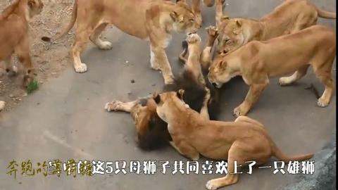 5只母狮向1只雄狮疯狂示爱直接把雄狮按倒在地场面太过激烈