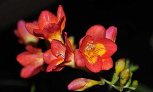 香雪兰秋天养护有重点,花开爆盆,种球来年还可以繁殖。