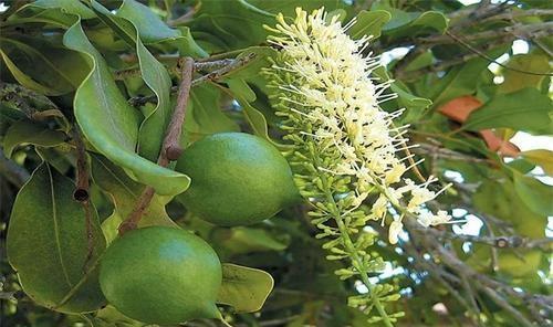 夏威夷果上面的缝是怎么来的,吃了十年的坚果,今天才搞明白