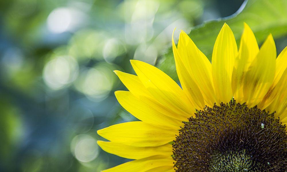 奥森北园百亩向日葵盛开,如阳光般笑迎游客