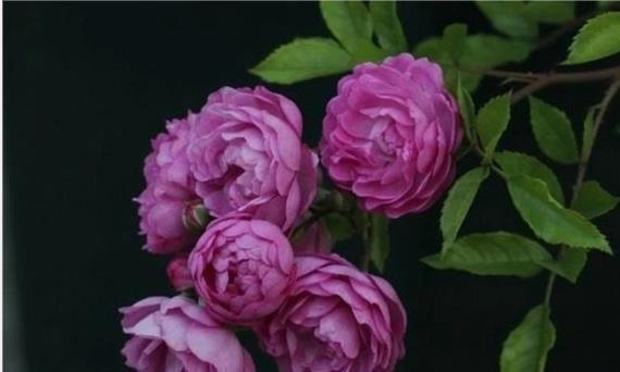 喜欢玫瑰,不如养一株葡萄园之歌,朵朵开放如紫色葡萄般玲珑剔透