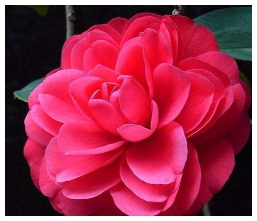 """极艳丽的""""中国红"""",大花型,完全重瓣,花瓣呈六角形,茶花首选"""
