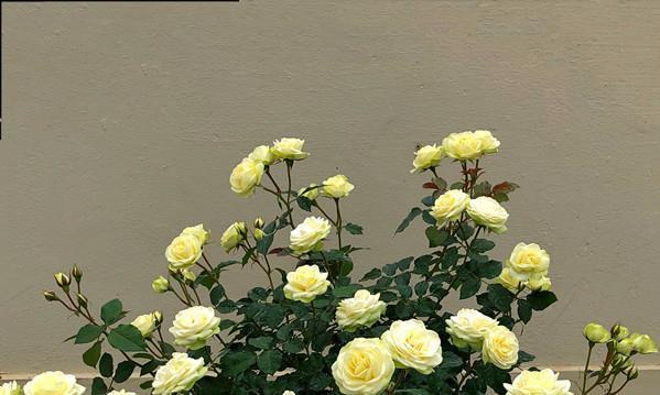 此盆栽花期超长,四季有花开,漂亮似玫瑰,植株低矮,花量丰富