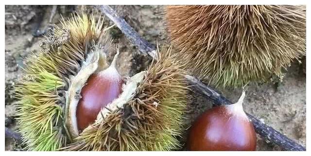 这种坚果,只有山里才有,类似板栗,却比板栗更好吃