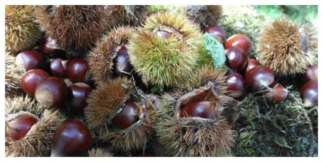 山里野生锥栗熟了,健康营养的美味野果,你准备好怎么吃了吗