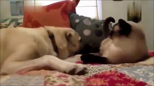 狗子扰了暹罗猫睡觉,起来就一顿胖揍,给狗子都扇懵了
