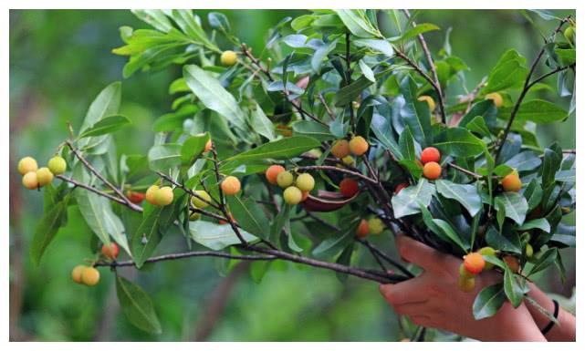 云南山里野生小杨梅,个小酸甜一摘就几十斤,做成冰糖杨梅最好吃