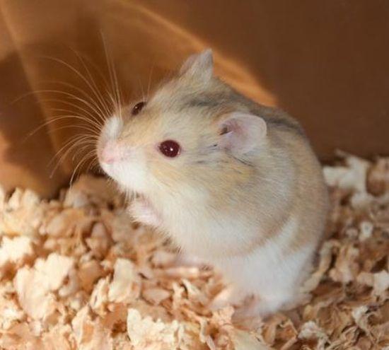 粘人的小仓鼠软乎乎的肚皮,像是一只夜行精灵