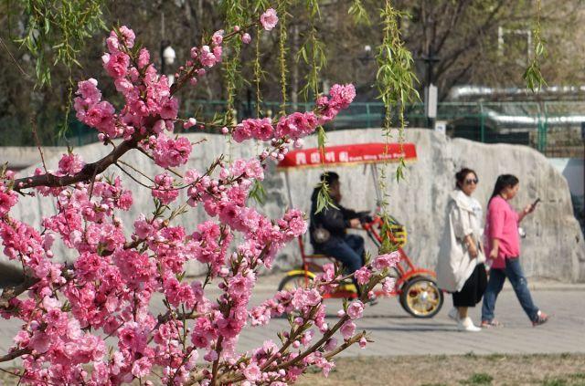 北京:天气晴好,圆明园春花烂漫