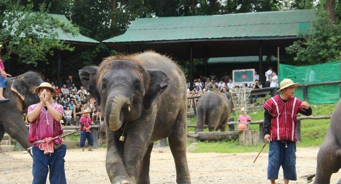 这是泰国最大的大象训练营,一共养了七十多头大象