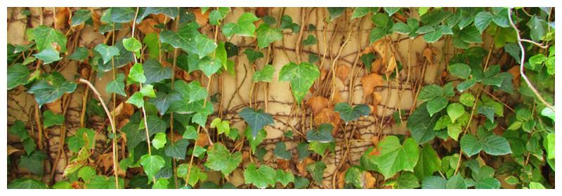 常春藤叶子发黄是什么原因图片