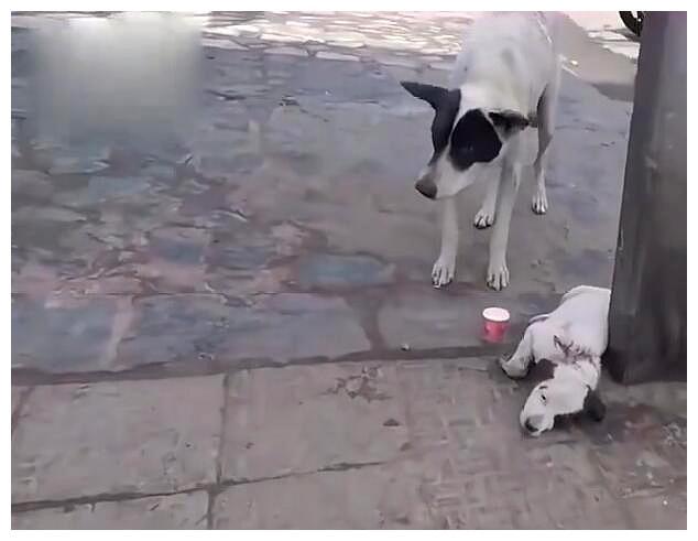 小流浪狗惨遭刺伤险瘫痪,狗爸狗妈悲痛哀号:救救我孩子!