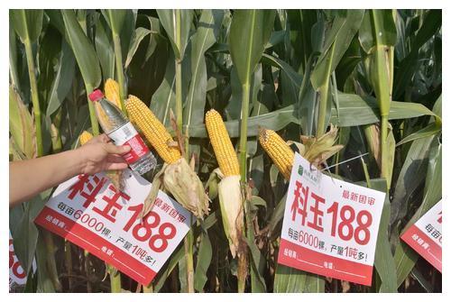 """被称为""""神种"""",这个玉米品种不花粒、不倒伏,每亩能种6000棵"""