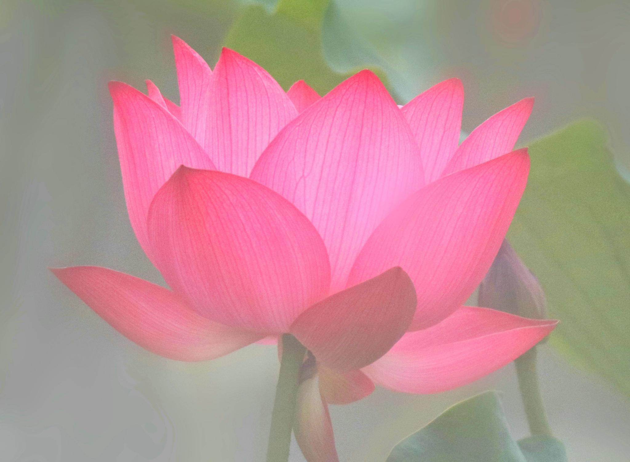 四川大学的梦幻荷塘:仙气缥缈,文气萦绕