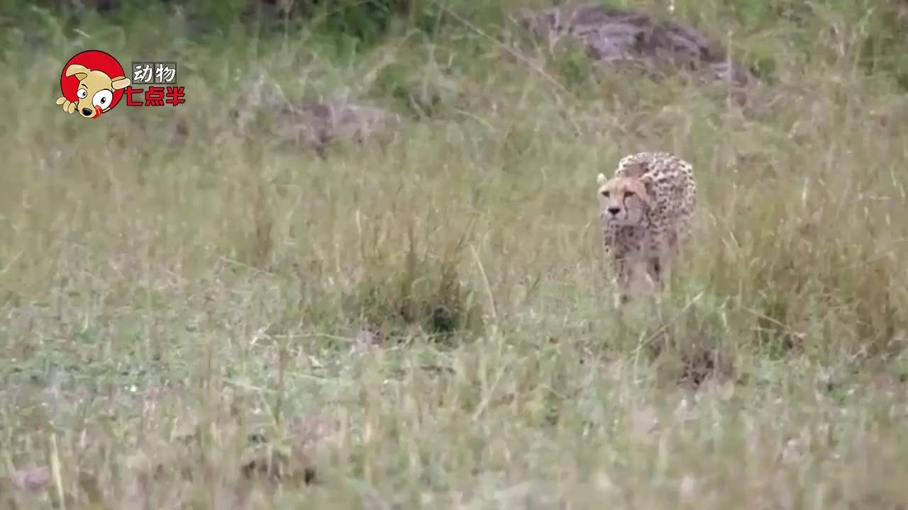 豹捕食小羚羊突然出现了一只狒狒狒狒在我的地盘上撒野