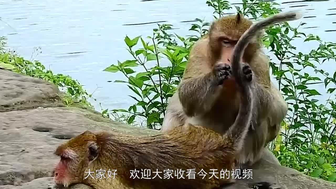 实拍猴哥帮小伙伴捉虱子捉着捉着就开始不着调了