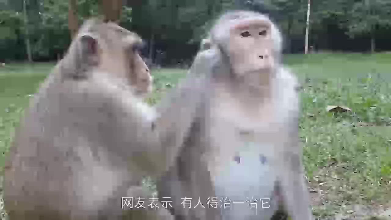 实拍猴哥帮母猴捉虱子,捉着捉着就开始不着调了,镜头拍下画面