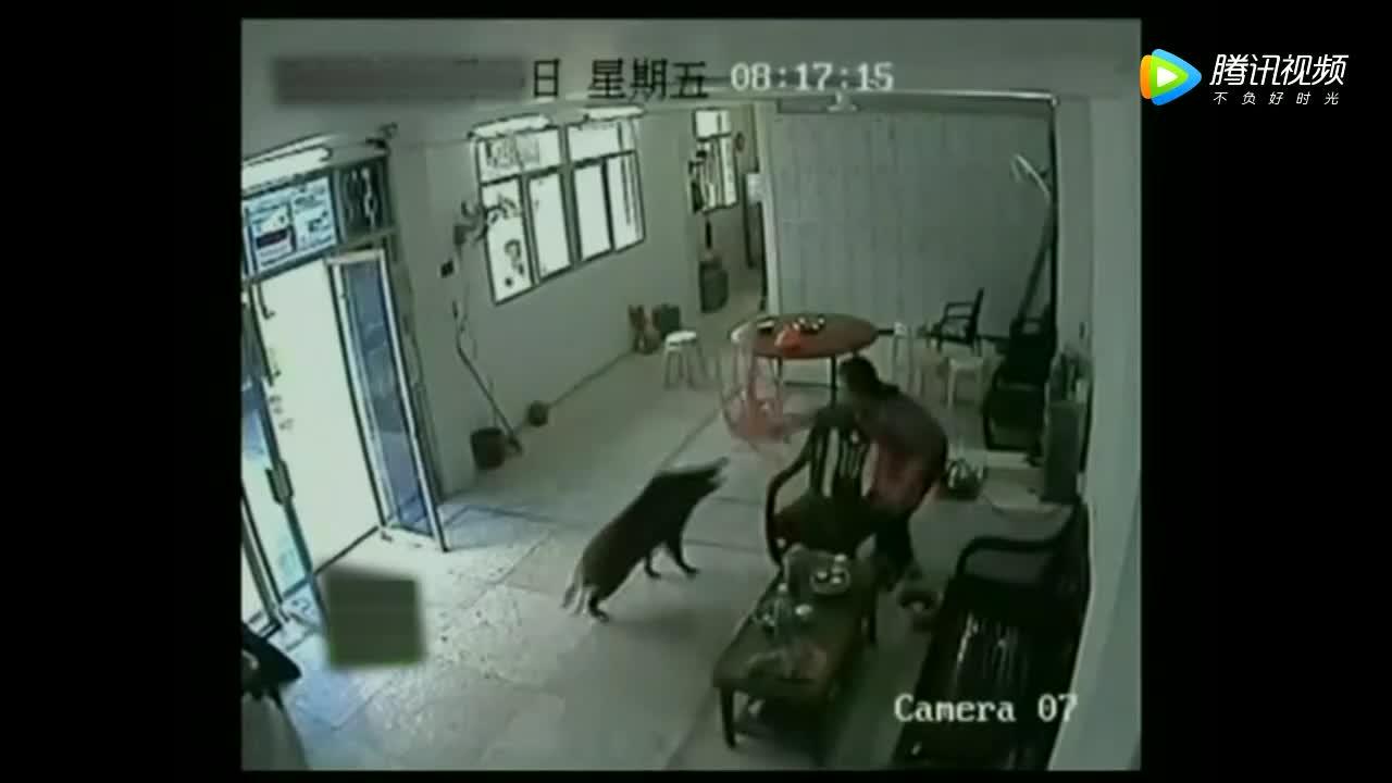 野猪突然闯入家中,女子的举动真是让人佩服