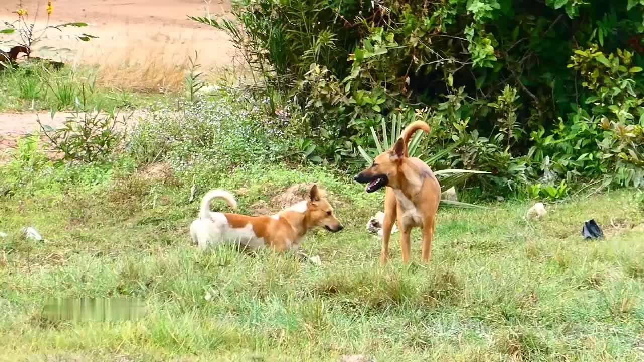 柯基狗狗与田园犬的串串在田野上与小伙伴撒欢玩耍