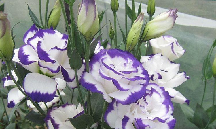 最值得入手的草花,号称无刺玫瑰,花期长,养护容易,是盆栽佳品