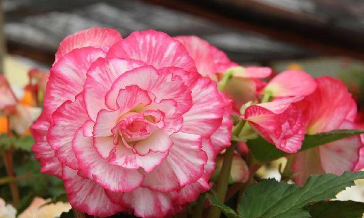 最值得入手的秋海棠,花姿漂亮像牡丹玫瑰,栽培容易,是盆栽佳品