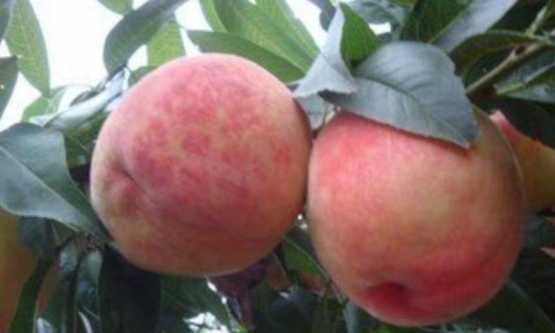 桃子好吃又营养,今年遇到大丰收却滞销,是什么原因导致的呢