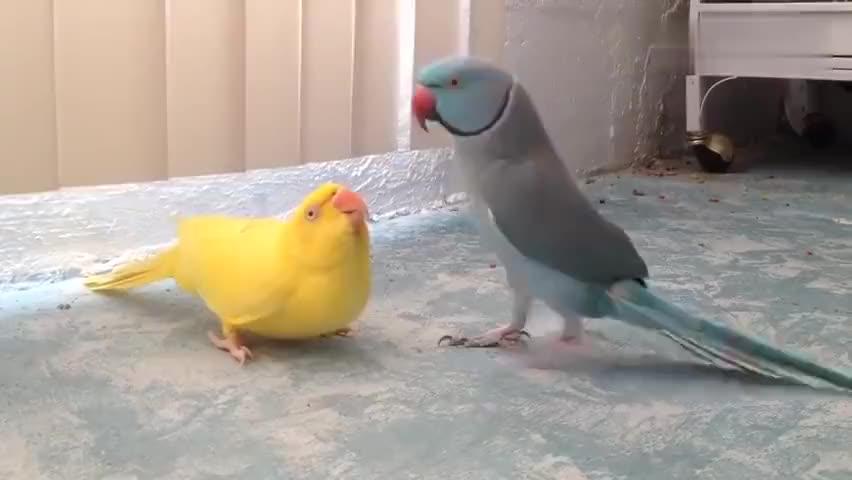 公鹦鹉为了求偶在母鹦鹉面前费劲心机表现自己找对象不容易啊