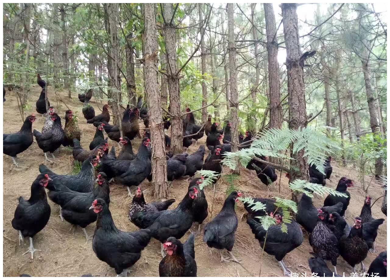 大吉大利晚上吃鸡