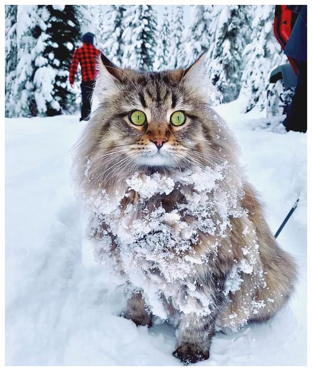 猫中二哈了解一下:西伯利亚森林猫