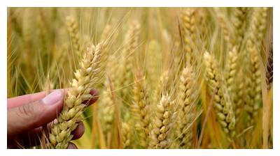 给大家推荐一个茎秆矮、抗倒伏、节水、抗旱性好的高产小麦新品种