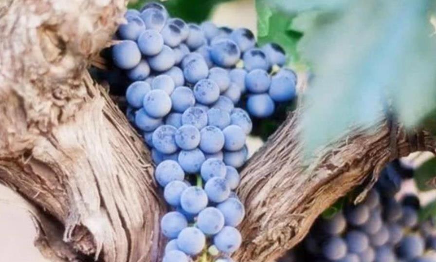 """世界最""""老""""的葡萄树:176岁高龄产""""子""""7吨,连树也会养生了?"""