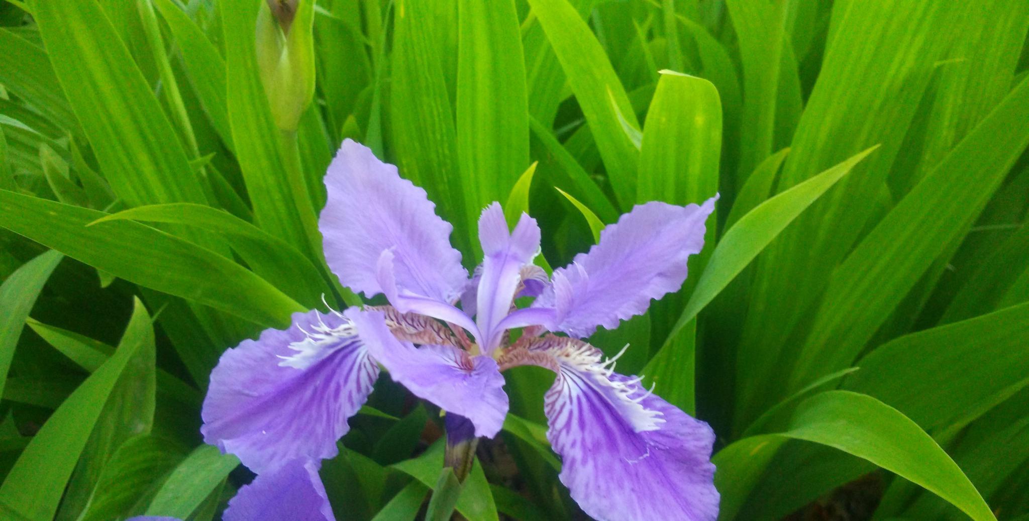 会行走的花卉——鸢尾花