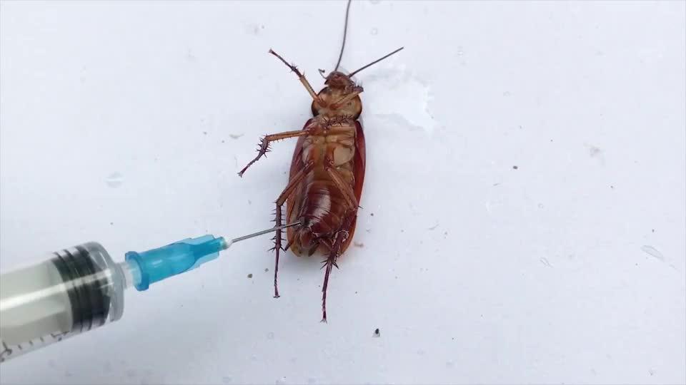 老外作死将硫酸注射进蟑螂体内场面瞬间失控什么仇什么怨