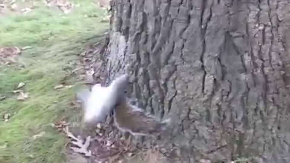一只偷喝了酒的松鼠和大树较上了劲儿松鼠你能不晃吗
