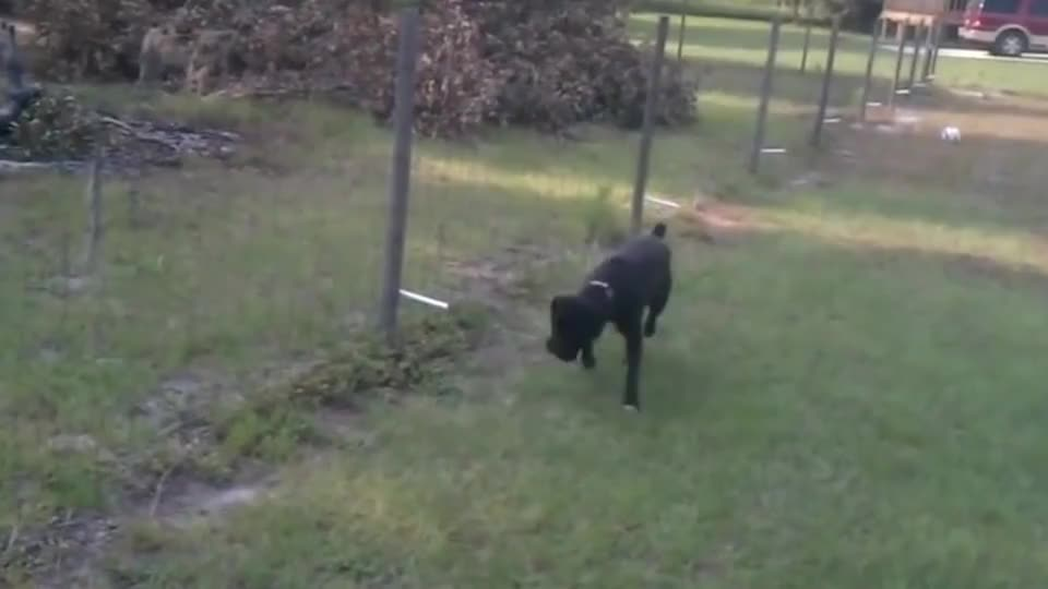 狗狗对着电网撒尿还不时用鼻子嗅一嗅电网求放过