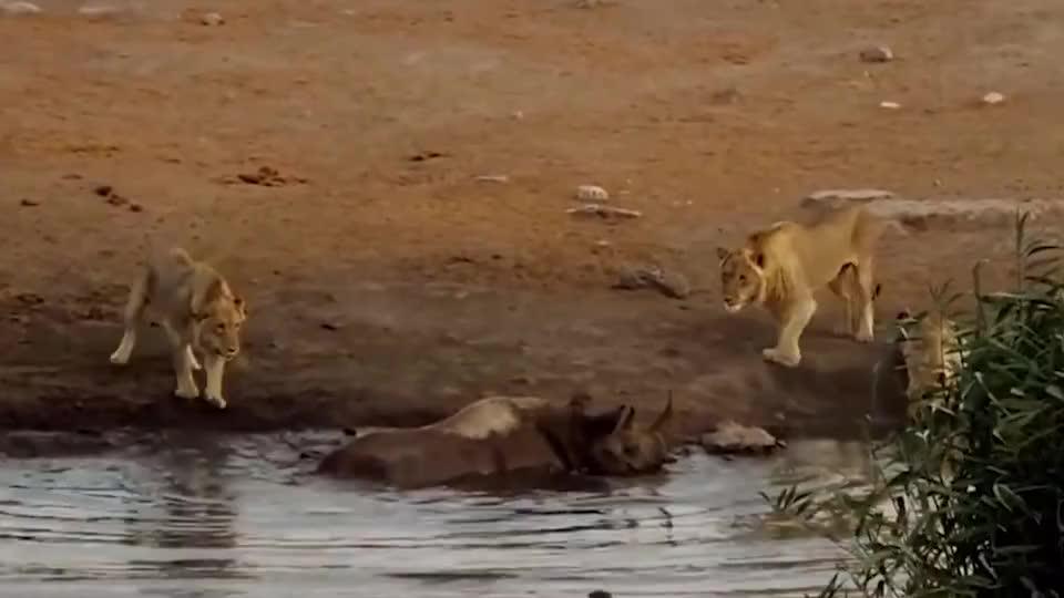 世界上最惨的一只狮子竟被水牛顶飞上天太惨了
