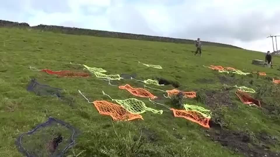 草地上发现许多兔子洞放一只雪貂放进去后兔子吓得自投罗网
