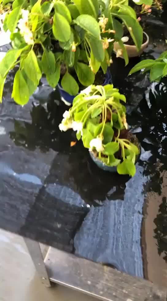 小微盆景没用盆套盆养护忘记浇水后果严重缺水叶子没精神塌落果子