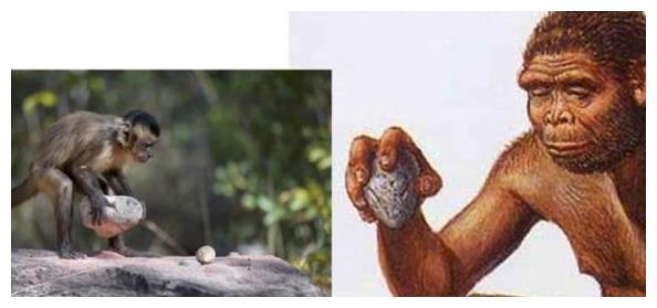 卷尾猴还在进化?懂得使用工具,知道按劳分配,或能威胁人类