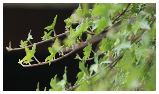 常春藤叶子发黄的原因有三图片